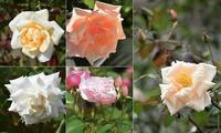 Garden Storyさんにて「実録!バラがメインの庭づくり第10話~」がご掲載頂きました。 -  日本ローズライフコーディネーター協会
