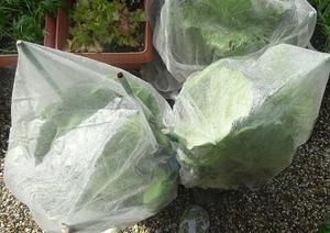 庭の白菜 -