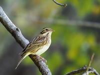 枝先に舞い上がったカシラダカ - コーヒー党の野鳥と自然パート3