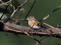 冬鳥のアトリが群れで - コーヒー党の野鳥と自然パート3