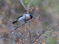 お山のズミの実とウソ雄たち - トドの野鳥日記