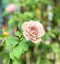 カラーオブジュピターの秋バラ♡と簡単な寄せ植え♫ - 薪割りマコのバラの庭