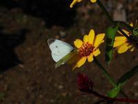 晩秋の蝶Ⅲ - 飛騨山脈の自然