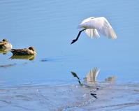 波志江沼でサギやカモ - 星の小父さまフォトつづり