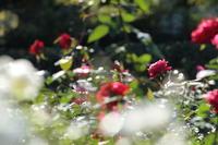 秋バラを見に行ってきた - cafeカワセミ