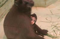 クロザルの赤ちゃんと国内唯一のカオムラサキラングール(千葉市動物公園 December 2019) - 続々・動物園ありマス。