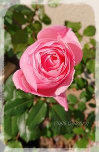 ピンクのバラ咲き始めました♪ - どんぐりの木の下で……