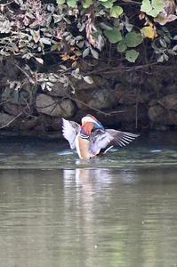 オシドリ - 阪南カワセミ【野鳥と自然の物語】