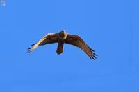 大きな葦原のチュウヒ - 野鳥公園