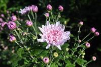 旬菜…<食用菊> - 風のむろさん 自然の詩
