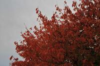 桜紅葉 - 「 ボ ♪ ボ ♪ 僕らは釣れない中年団 ♪ 」Ver.1