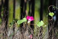 小さな林の中で - summicron