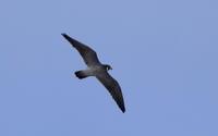 ハヤブサが飛んだ - 私の鳥撮り散歩