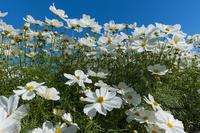 風に揺らぐコスモスたち(馬見丘陵公園) - 花景色-K.W.C. PhotoBlog