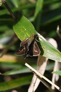 イチモンジセセリ - 続・蝶と自然の物語