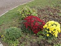 散々な出来の今年の玉菊、でもきれい (2020/11/3撮影) - toshiさんのお気楽ブログ