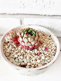 おひとりさま鉢の可愛いコ* - Natural style*