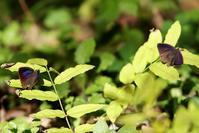 陽だまりの中でムラサキツバメ 他 - 野山の住認たち Ⅲ