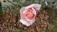 まだまだ秋バラ - ウィズコロナのうちの庭の備忘録~Green's Garden~