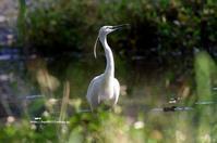チュウサギ (中鷺) - azure 自然散策 ~自然・季節・野鳥~