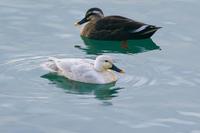 白変種のカルガモ(軽鴨) - 野鳥などの撮影記録