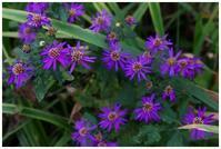 紫小菊 -  one's  heart