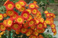 my gardenの菊~♡2020.11.8 - みい写日記☆