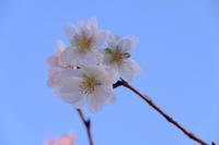 冬の桜 - きずなの家創り