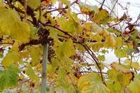 ピオーネ収穫が終わりました。 - ~葡萄と田舎時間~ 西田葡萄園のブログ