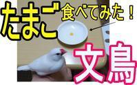 田舎暮らしの主婦シリーズ 採れたての白文鳥のたまご食べてみた! - 田舎暮らしの主婦シリーズ