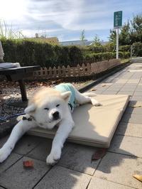 誤算、ハプニング、トラブルでも人情の旅(その一) - 秋田犬「大和と飛鳥丸」の日々Ⅱ