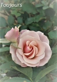 薔薇~しののめ~ - Bijoux  du  Bonheur ~ビジュー ドゥ ボヌール~