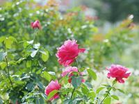 敷島薔薇園の秋薔薇4 - 光の 音色を聞きながら Ⅵ
