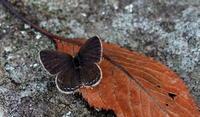 立冬山茶始開(つばきはじめてひらく) - 紀州里山の蝶たち