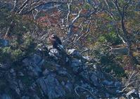 秋の伊吹山イヌワシ幼鳥その3 - 今日も鳥撮り