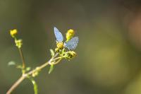ヤクシマルリシジミ - チョウ!お気に入り