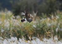 ハイイロチュウヒに逢いにその7(雌が葦原を飛ぶその7) - 私の鳥撮り散歩