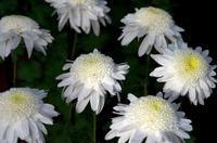 菊花 ― その色とかたちの面白さ - ぎゃらりー竹斎堂