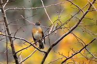 晩秋の楽しみ - 綺麗な野鳥たち