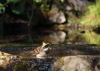 水浴び、、ミヤマ、 - ぶらり探鳥