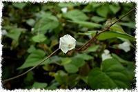 とてもとても小さい朝顔 → マメアサガオ(豆朝顔) - 世話要らずの庭