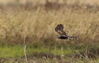 田園地帯でハイイロチュウヒ雌に逢うその8(抜けた場所へ降りた) - 私の鳥撮り散歩