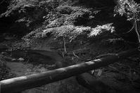 もみじ - MonochromePhoto