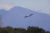 コウノトリ - 『彩の国ピンボケ野鳥写真館』