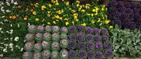 冬花壇への植え替え第2弾 - ニッキーののんびり気まま暮らし