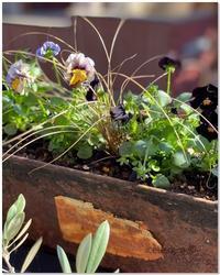 ビオラとオリーブの実 - 小さな庭 2