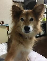 11歳(仮)になりました - Kyoto Corgi Cafe