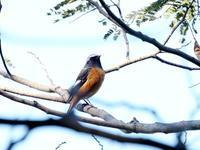 赤城山麓で野鳥観察 - コーヒー党の野鳥と自然パート3