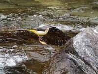 箒川にはキセキレイもいた - コーヒー党の野鳥と自然パート3