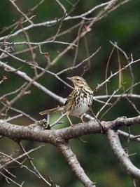 那須野が原公園にいたビンズイ - コーヒー党の野鳥と自然パート3